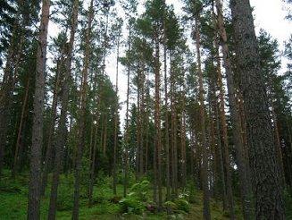 Suomalaisia puita